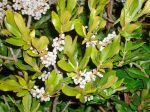 bayberry bush
