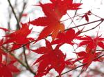 colourful red leaves, representative of autumn